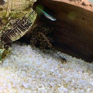 熱帯魚 セルフィンプレコ2匹
