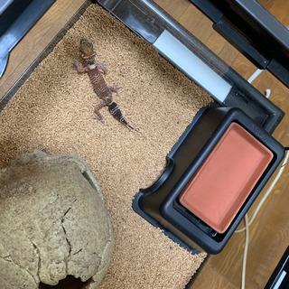アンダーウッディサウルスミリー♀の画像