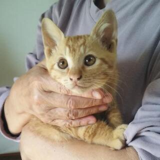 2ヶ月半の元気一杯茶トラの子猫チャスケ