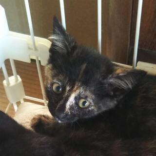 2ヶ月半元気なサビ柄子猫サララちゃん