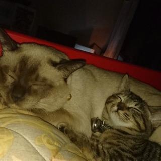 シャム猫とアメリカン猫