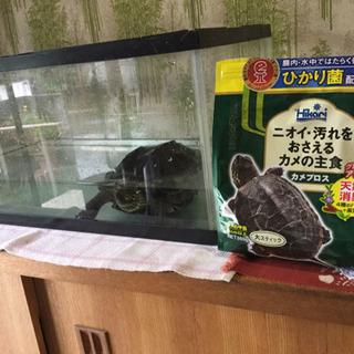 亀 水槽 餌付き どなたかお願いできませんかー!