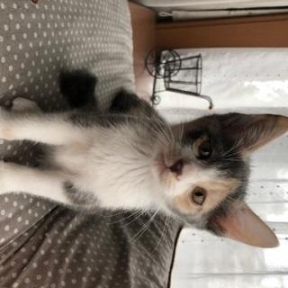 姉妹の子猫を可愛がって下さる方を募集します。