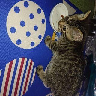 生後2ヶ月のメスのキジトラ
