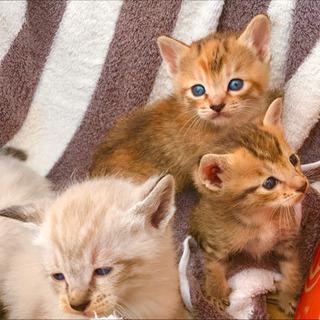 生後1ヶ月4匹の子猫です。