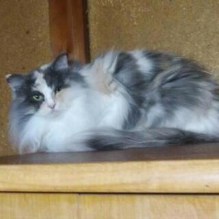 美人の長毛の三毛猫ちゃん 「のんちゃん」4歳の女の子です