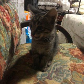 キジトラの子猫の里親様を募集します。