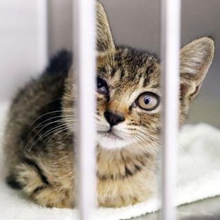 (交渉中)生後2ヶ月♂イケメンのキジ猫くん🐱
