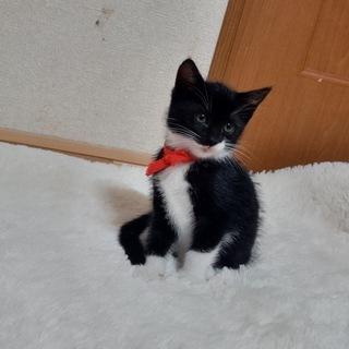 かわいい白猫♂と黒猫♀の兄妹(生後50日程度)の里親を募集します