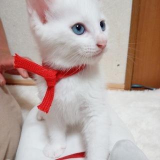 かわいいブルーアイの白い子猫♂(生後50日)の里親募集をさせてい...