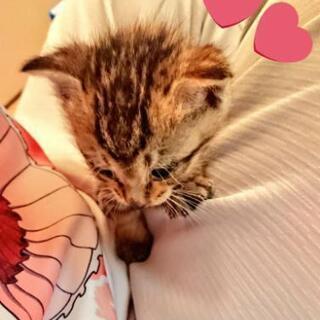 子猫キジトラ5匹