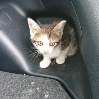 [ 相談中]子猫 2ヶ月位 ミケ 女の子 里親募集