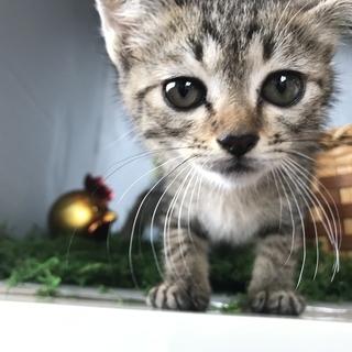 キュートな瞳のキジ猫ちゃん