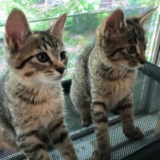 里親募集中❗️生後2カ月の仲良しメス2匹と、生後1カ月半の黒の子猫🐱 - 猫
