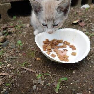 保護猫の里親募集します(猫白血病見つかりました。一時募集停止しま...