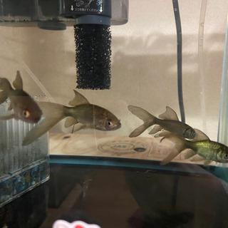 日時でお渡し可能です🎶鉄魚💕💕優良個体🐟残りわずか4匹販売します🔔🔔