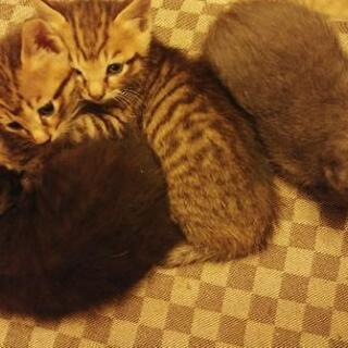 子猫里親募集 生後1か月