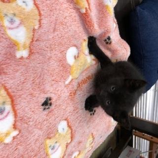 黒猫2ケ月 オス