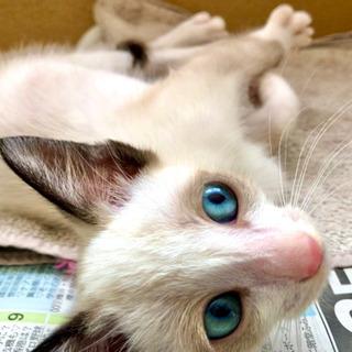 ブルーアイズのかわいいペルシャ猫🐈生後3ヵ月ほど、男の子☆