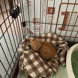 生後1ヶ月半の茶トラくん♂(交渉中) - 猫
