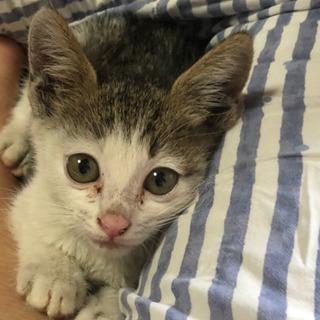 生後4週間子猫  雄