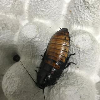 マダガスカルゴキブリ  1ペア+ss20匹