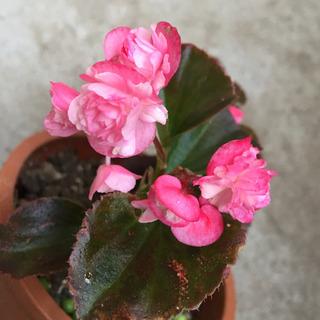 ベゴニアダブレット 開花中 根付き2株 観葉植物