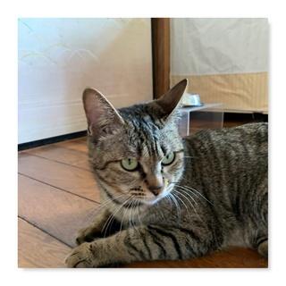 里親さん募集(人懐こいキジトラ成猫、メス、推定4歳ほど)
