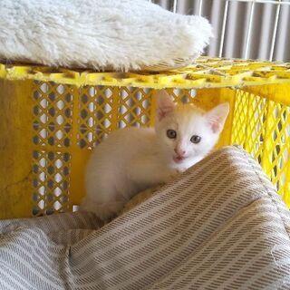 【里親さんが見つかりました】白色の仔猫(♂)です。