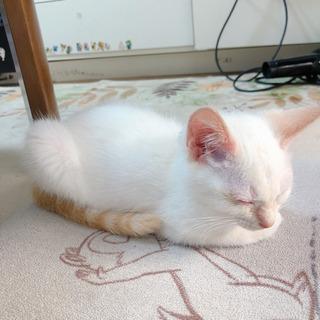 優しい飼主様がみつかりました!生後1ヶ月男の子の仔猫ちゃん - 市原市