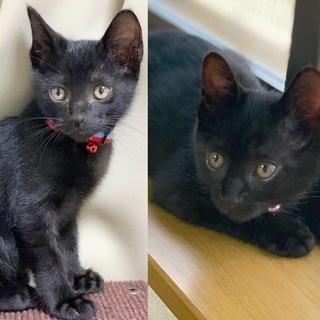 人が好き2ヶ月弱黒猫兄妹オシャレペア - 猫