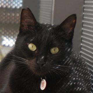迷子猫の捜索:右耳カットの黒猫です