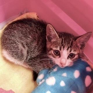 【里親決定!】キジシロの可愛い子猫ちゃん - 猫