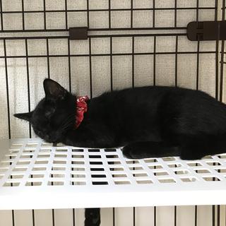【一時募集休止】黒猫のツヴァイくんの家族になってください - 里親募集