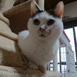 人が大好き♡推定12歳の三毛猫 − 神奈川県