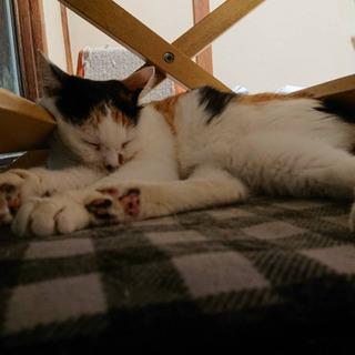 人が大好き♡推定12歳の三毛猫 - 横須賀市