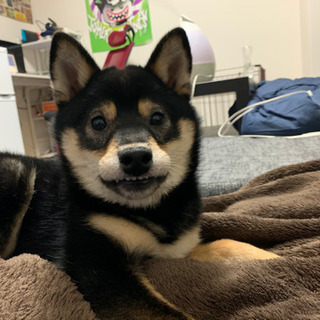 柴犬♀生後8ヶ月 黒