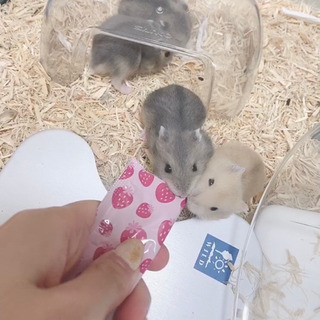 【里親募集】ジャンガリアンハムスターの赤ちゃん3匹
