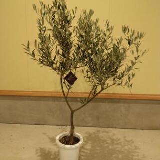 オリーブ(SOUJU)の木