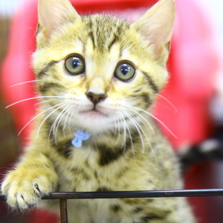 ベンガルの子猫のお世話をお願いします!!!