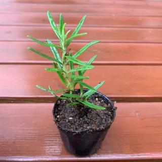 ローズマリー 植物苗 ハーブ