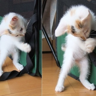 生後1ヶ月位の子猫9匹里親募集 - 里親募集