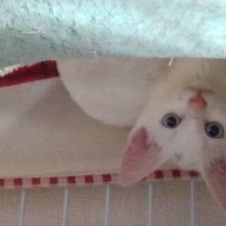 白いメス子猫の里親募集