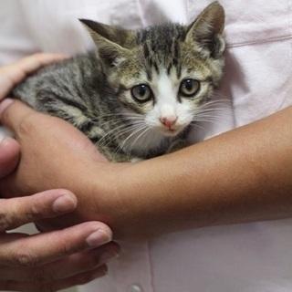【里親決定!】キジシロの可愛い子猫ちゃん - 広島市