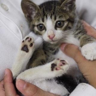 【里親決定!】キジシロの可愛い子猫ちゃんの画像
