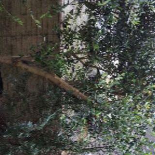 オリーブの木  植木 1本8,000円→7,000円【7月25日...