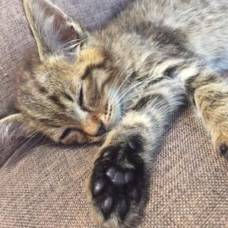 【急募!】生後およそ2か月 オス子猫1匹 - 佐賀市