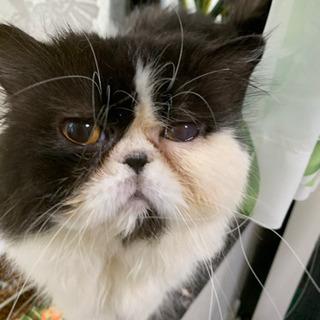 里親決まりました。ペルシャ猫 ありがとうございました。