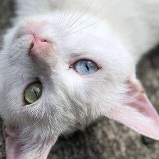 白猫 推定半年〜1歳  女の子 オッドアイ