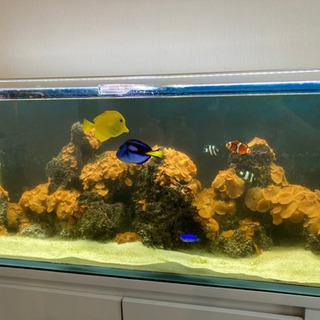 値下げました!海水魚7匹+マガキ貝